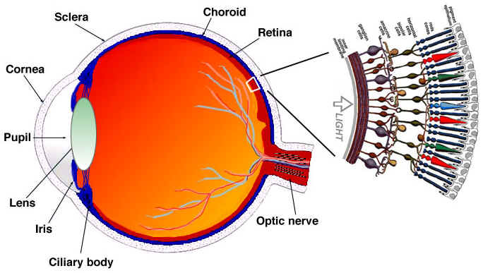 Electromagnetic spectrum visible waves science news light rays enter the eye through the cornea the clear front window of the eye the corneas refractive power bends the light rays in such a way that they ccuart Choice Image